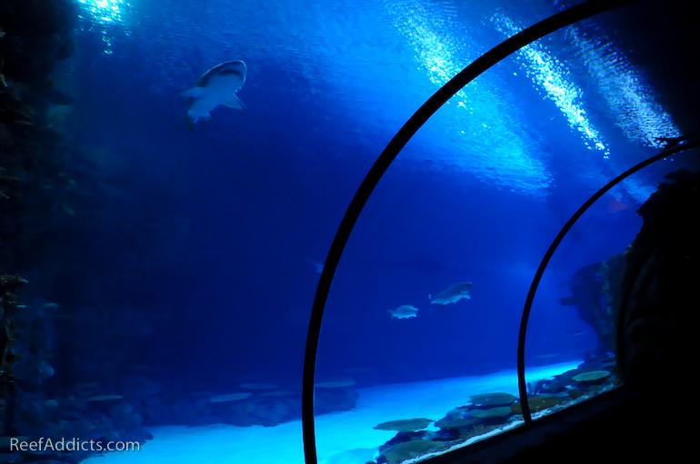 reef addicts shark reef at mandalay bay